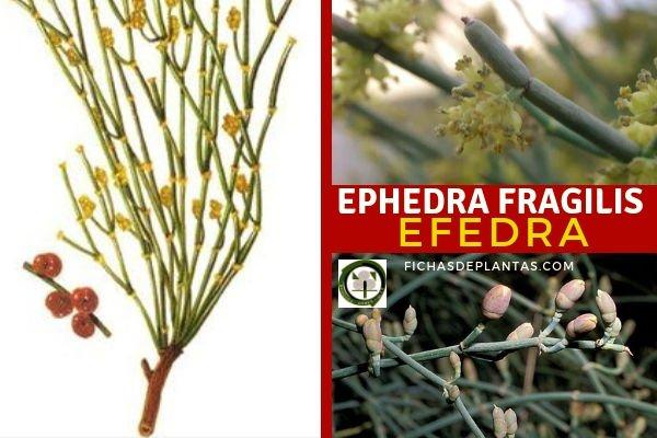 Ephedra fragilis, Efedra