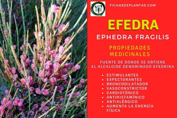 Ephedra Propiedades Medicinales