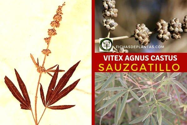Vitex agnus-castus, Sauce Gatillo