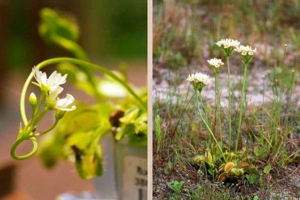 Dionaea muscipula Fotos