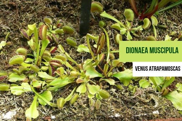 Dionaea muscipula, Cuidados y Riegos
