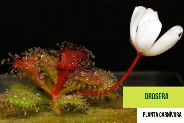 Drosera, Planta Carnivora