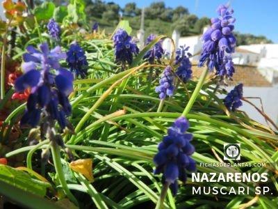 Nazarenos, Muscari sp. | Índice de plantas