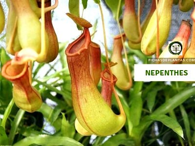 Nepenthes Planta