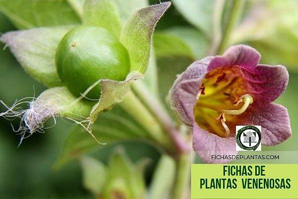 Fichas de las plantas Venenosas