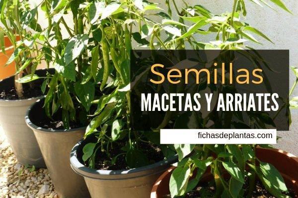Semillas Cultivo en Macetas