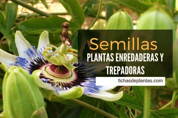 Semillas Plantas Trepadoras