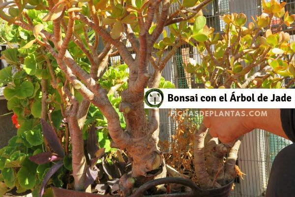 Arbol de Jade, Bonsai