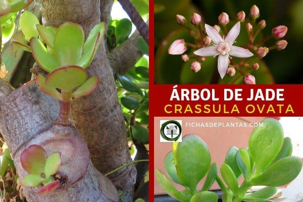 Crassula ovata, Planta de Jade
