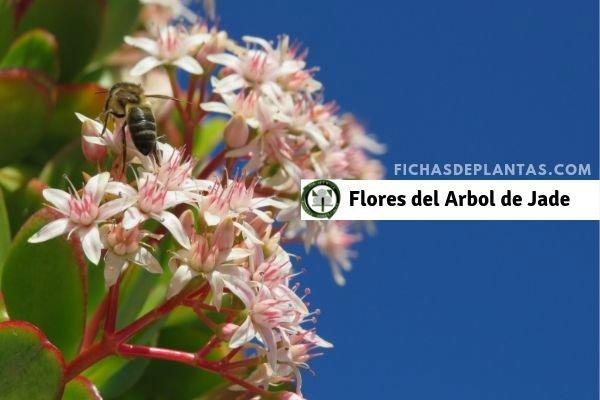 Arbol de Jade, Flores