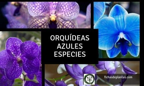 Orquídeas azules Especies