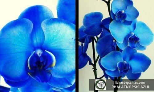 Phalaenopsis azul, orquídea