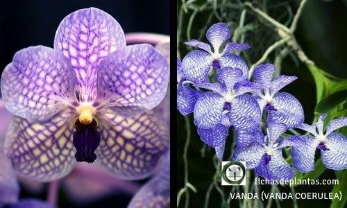 Vanda Orquídea azul