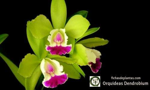 Orquideas Dendrobium