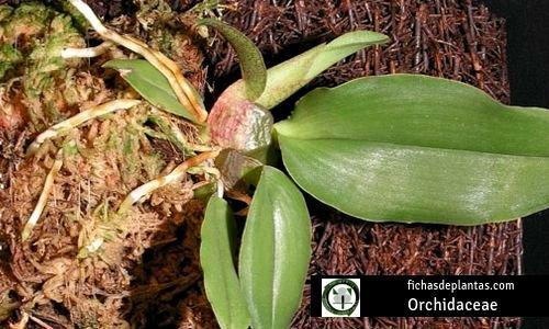 Orchidaceae u Orquideas