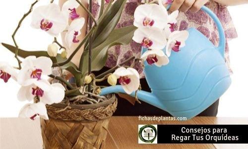 Orquídeas como Regalaras