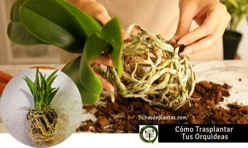 Trasplantar Orquídeas