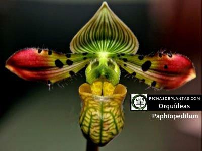 Paphiopedilum, Orquídea