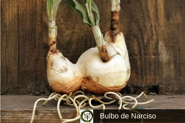 Bulbo de narciso
