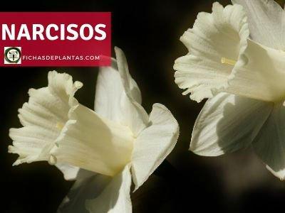 Narciso Planta
