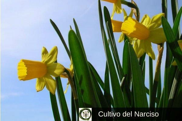 Narcisos Cultivo