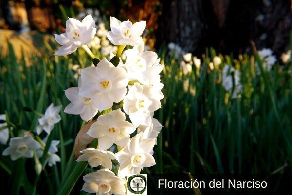 Floración del Narciso