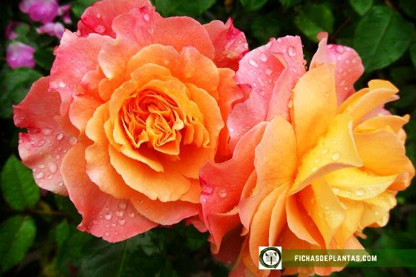 Rosas, Características