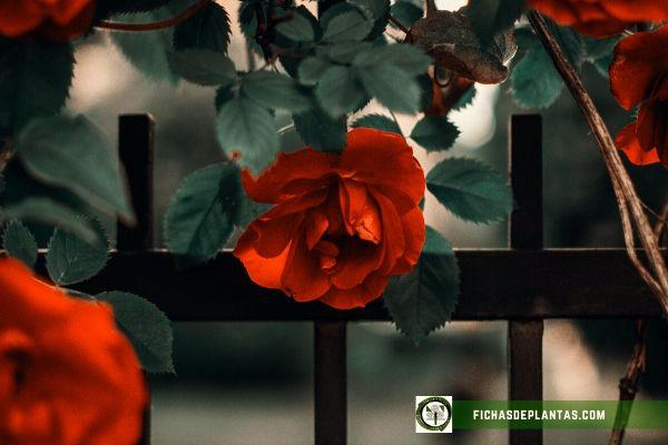 cuando florecen los rosales