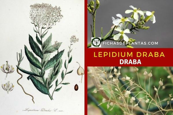 Draba, Lepidium draba