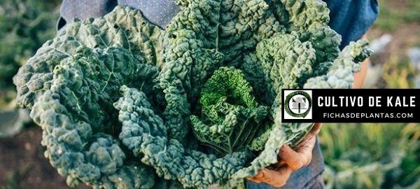 Como cultivar kale