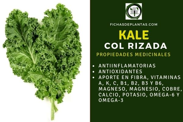 kale beneficios