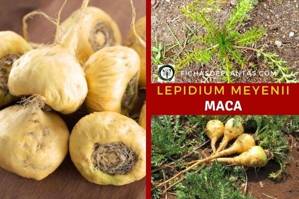 Maca, Lepidium meyenii