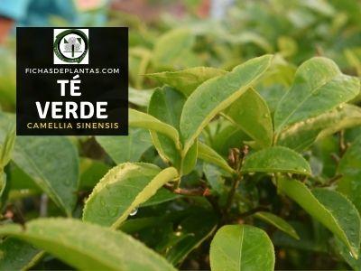 Té Verde, Camellia sinensis