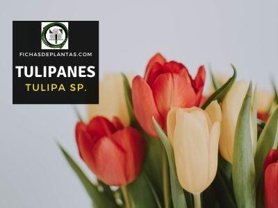 Tulipanes o Tulipa sp.
